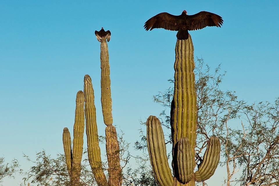 Les baleines grises, les cerfs royaux de la sierra, les vautours du désert et les cactus. , Mexique