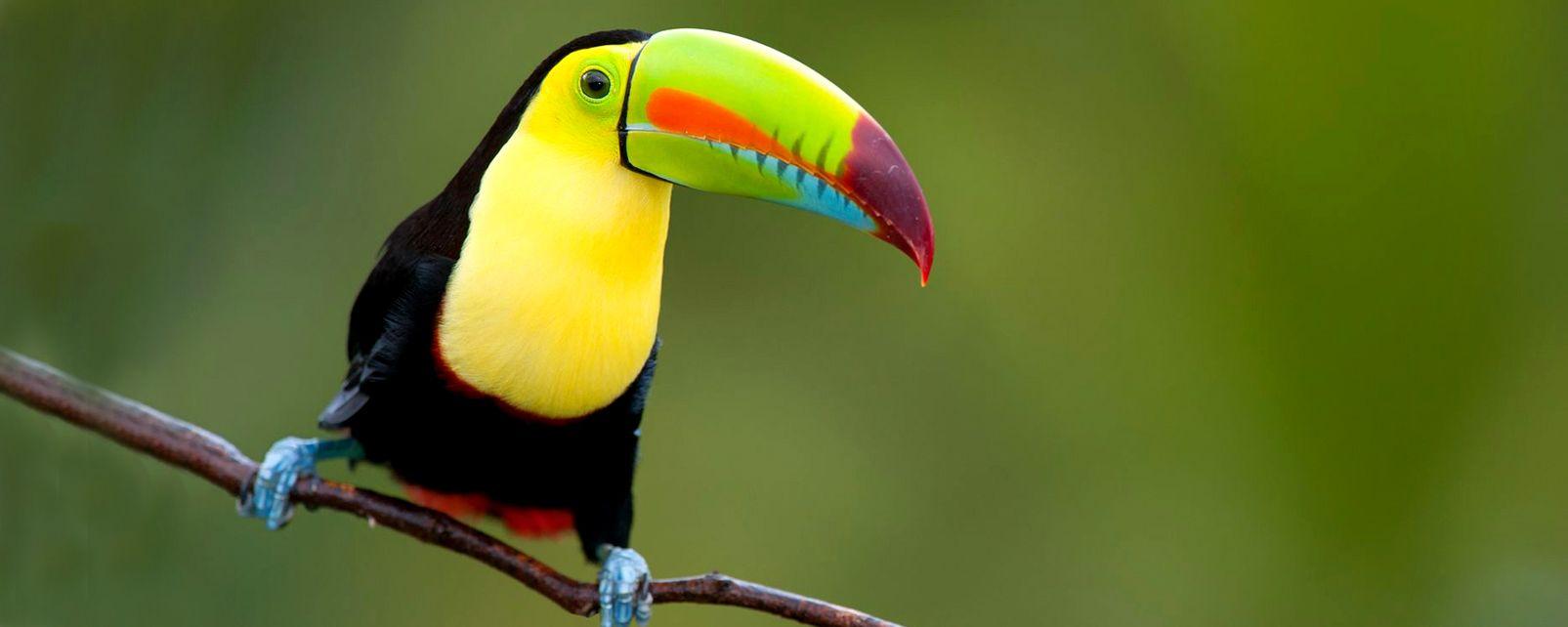 La faune et la flore, oiseau, toucan, faune, animal, mexique, amérique du nord, amérique