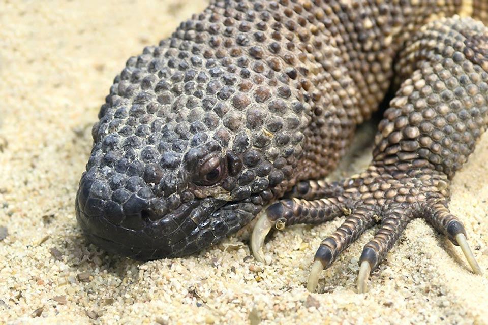 La fauna , Iguane in Messico , Messico