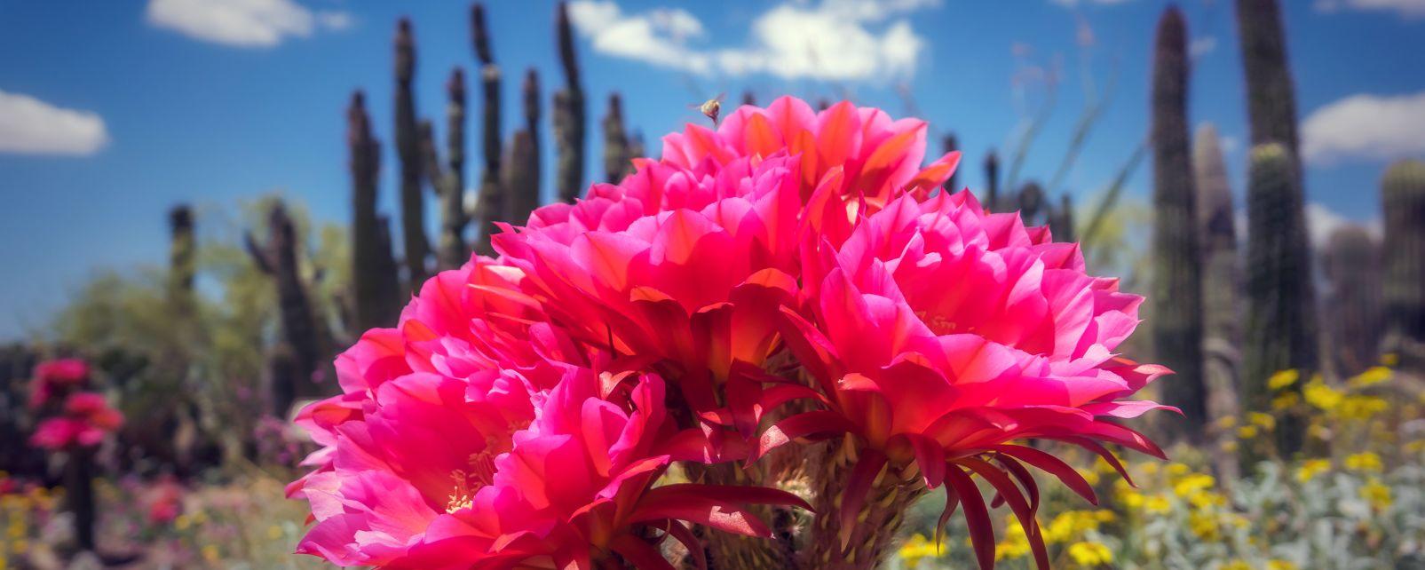 La faune et la flore, Mexique, fleur, cactus, flore, végétation, nature, amérique, amérique du nord, cactus, cactée