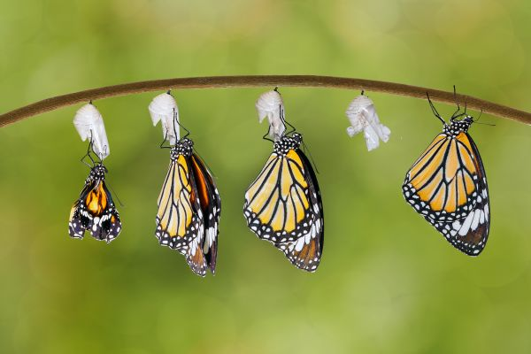 Monarch butterflies, The monarca butterflies, The fauna and flora, Continental Mexico
