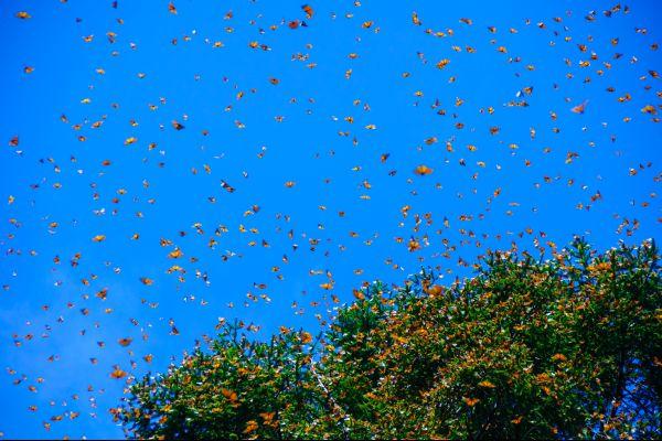 , Las mariposas Monarca, Fauna y flora, México continental