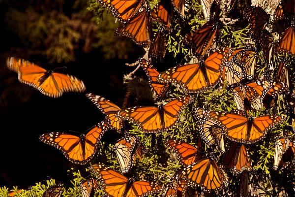 Las mariposas Monarca, Fauna y flora, México continental