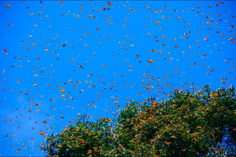 L'arrivo delle farfalle Monarca, Le farfalle Monarca, La fauna e la flora, Messico Continentale