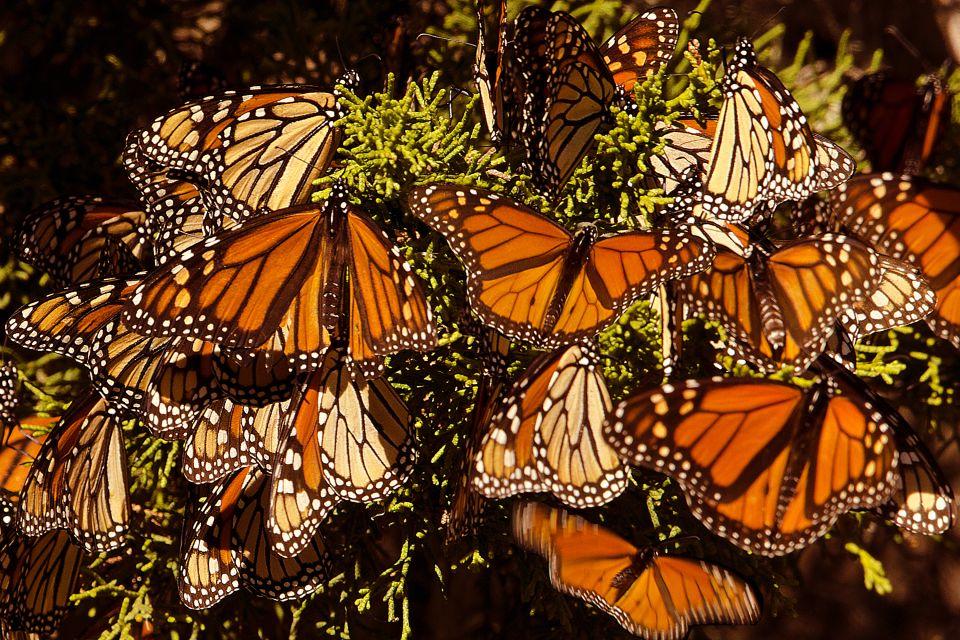 Le farfalle Monarca, La fauna e la flora, Messico Continentale