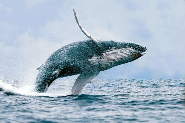 The whales., Whales, The fauna and flora, Continental Mexico