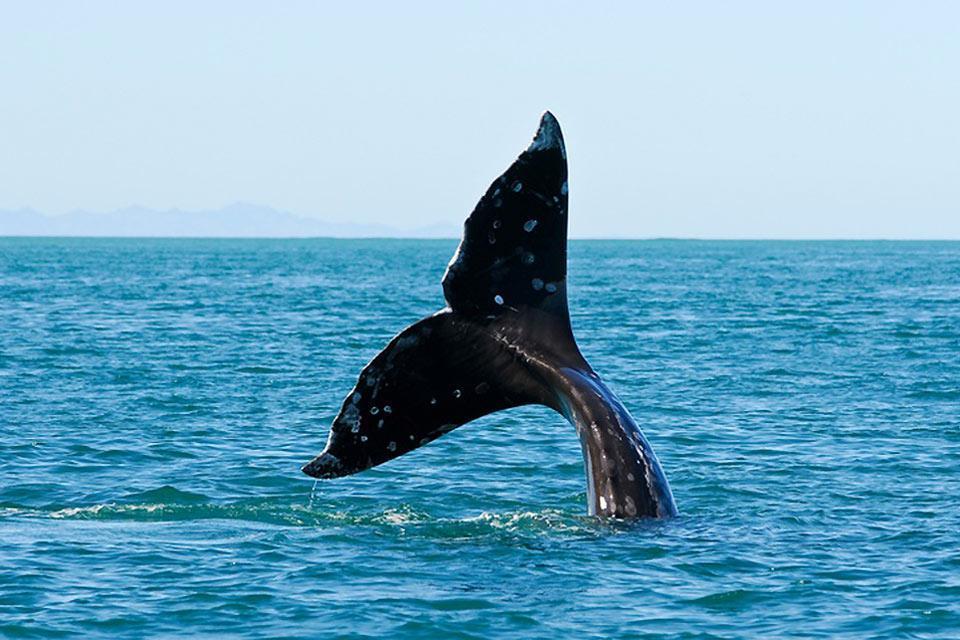Le balene , A caccia (pacifica) di balene! , Messico