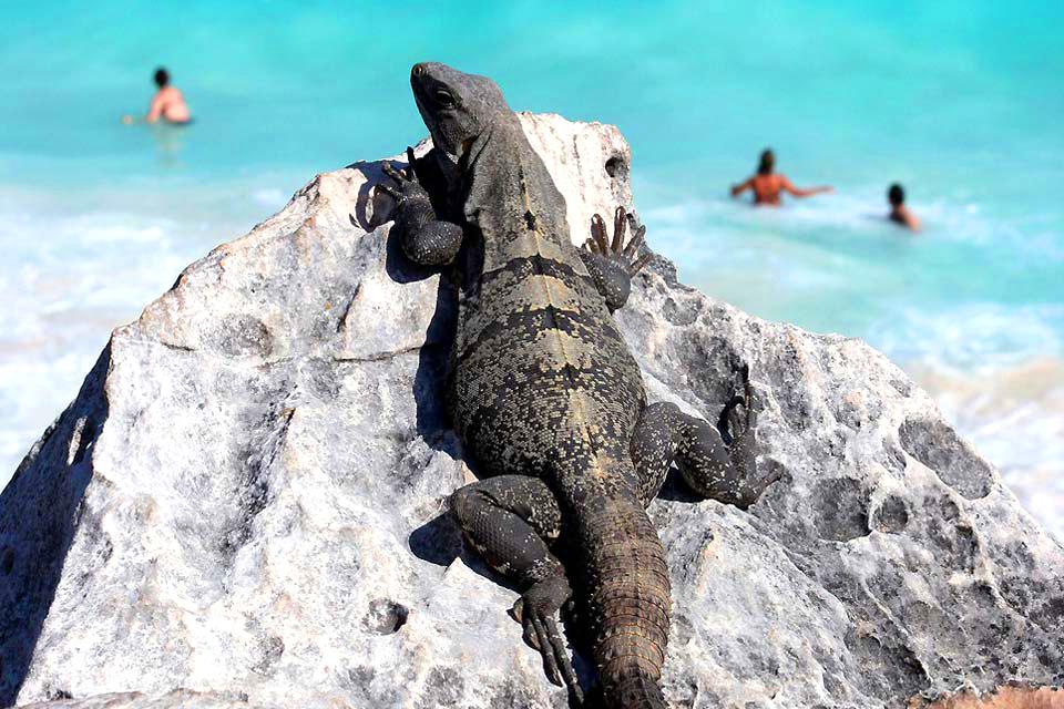 Le iguane , L'iguana in Messico , Messico