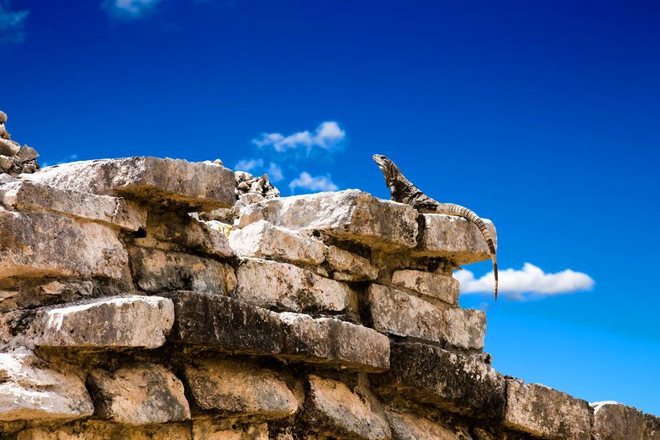 Le iguane , L'iguana verde , Messico