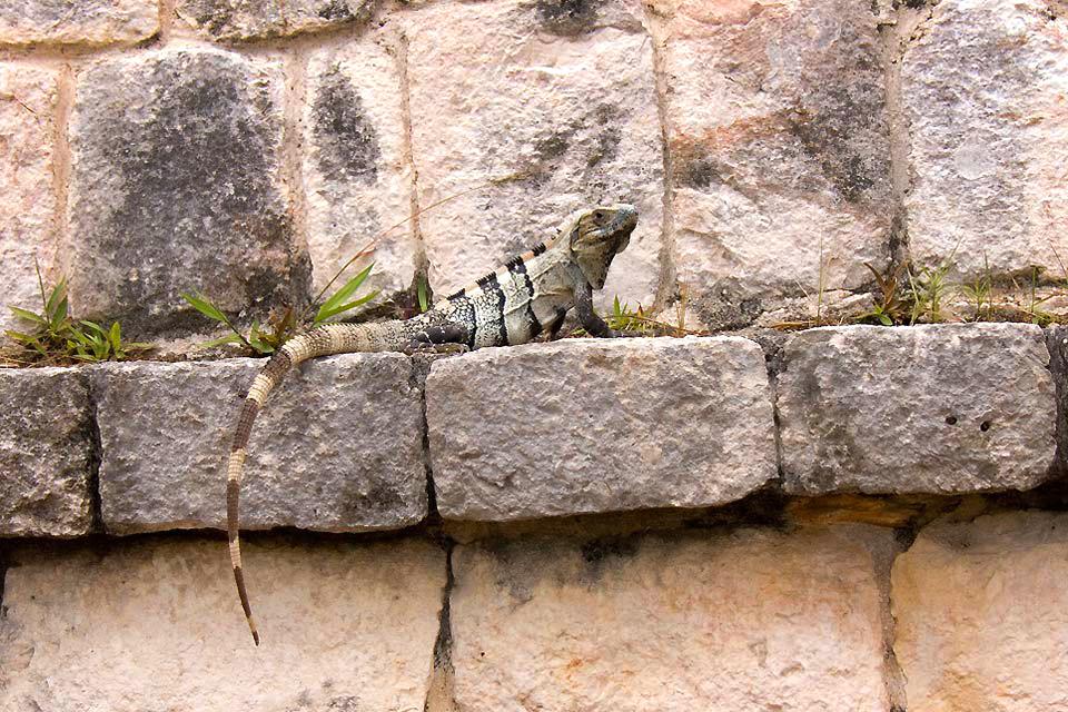 Le iguane , Iguana alla ricerca del sole , Messico