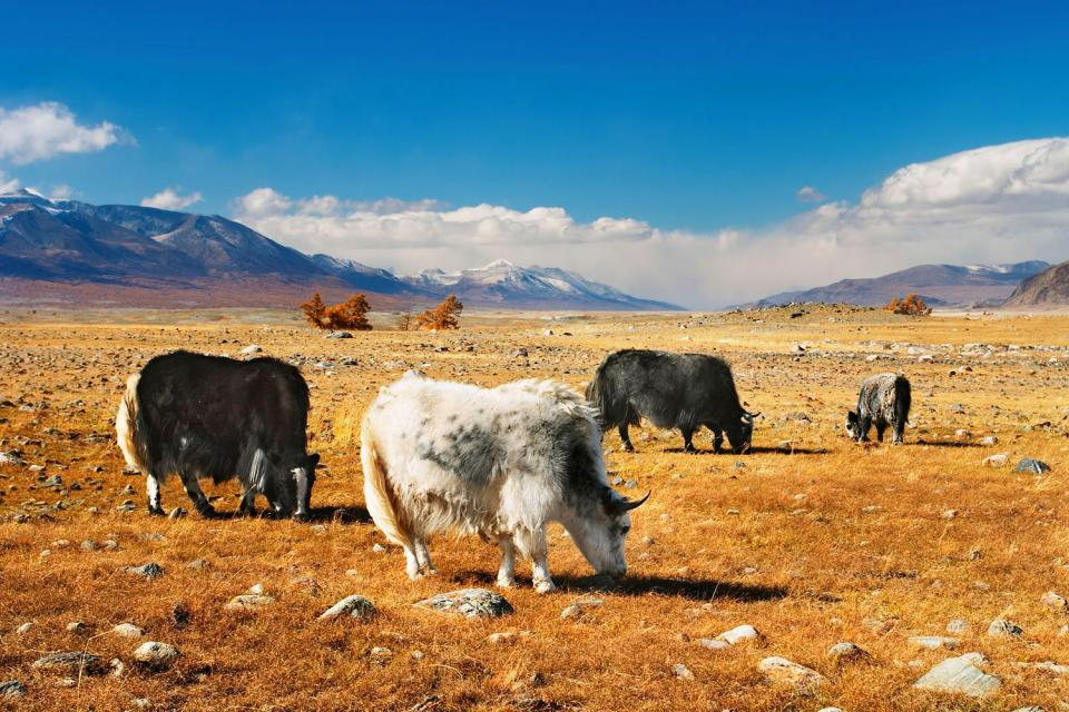 Mountains wildlife , Mongolian yak , Mongolia
