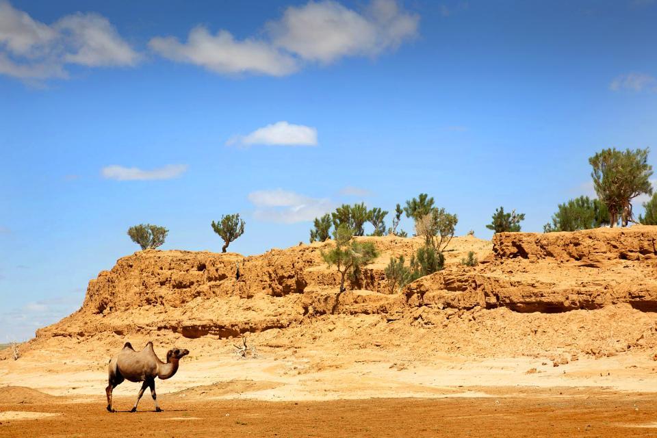 Faune et flore du désert de Gobi , La Grande Réserve du Gobi , Mongolie