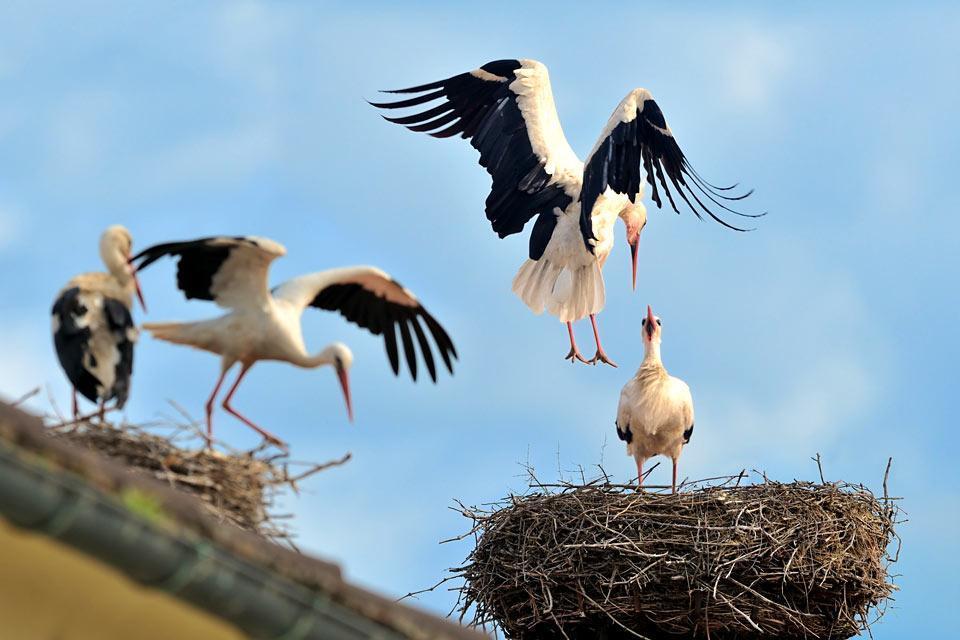 Die Tierwelt , Ein Storch , Österreich