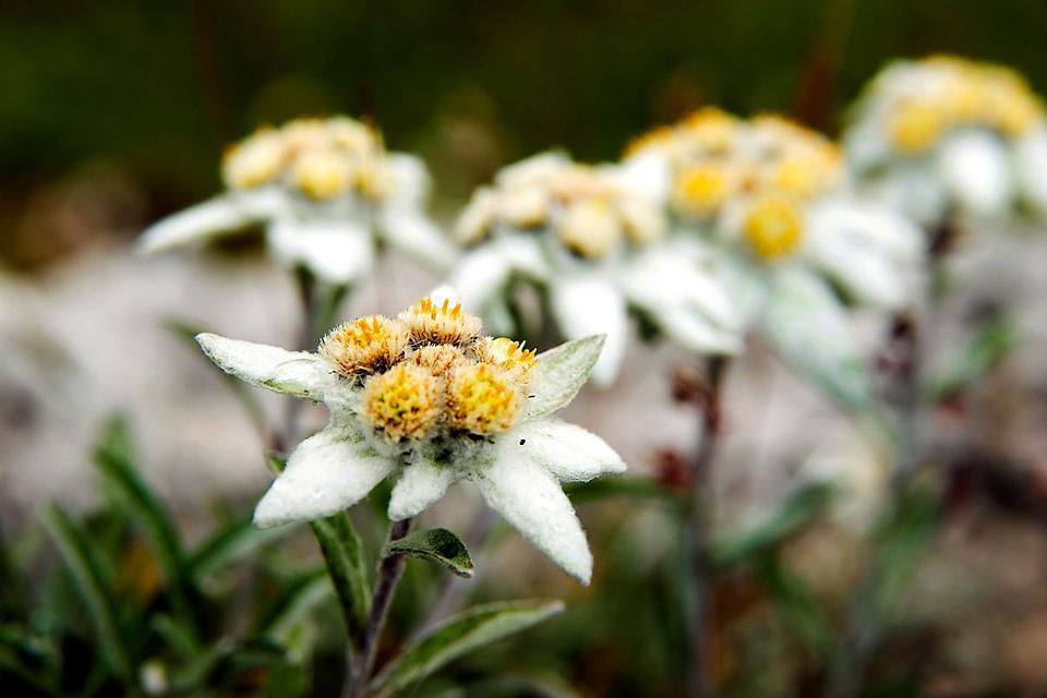 La flora , Tres flores locales poco comunes y protegidas , Austria