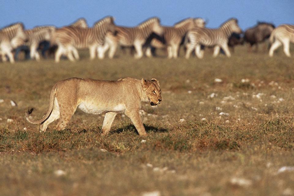 El Parque Nacional de Etosha , Namibia