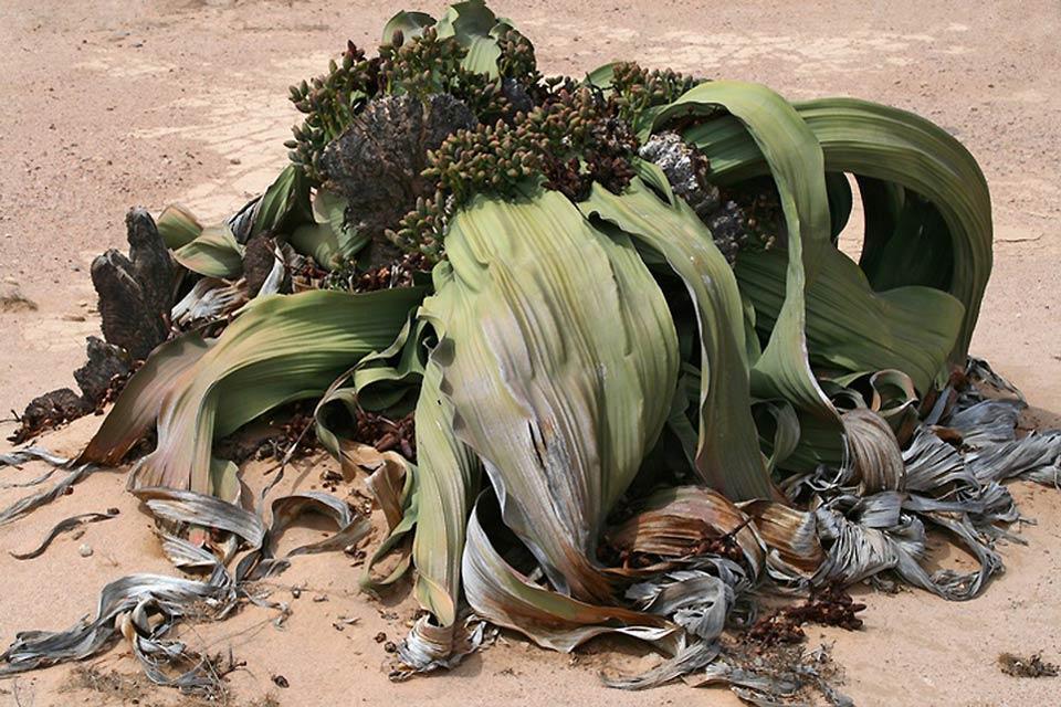 La flore , La flore, Namibie , Namibie