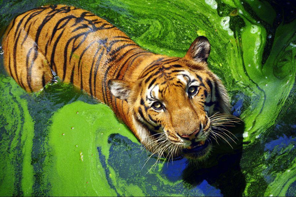 La faune et la flore, Népal, nature, asie, mammifère, faune, félin, tigre