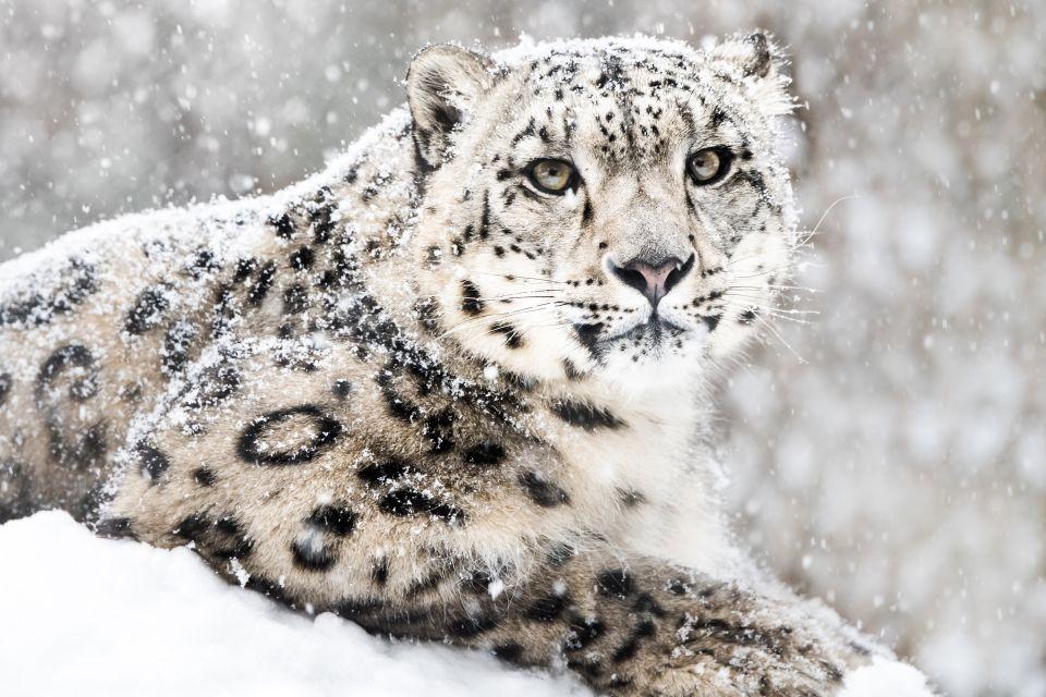 La faune et la flore, Népal, nature, asie, mammifère, faune, léopard, léopard des neiges