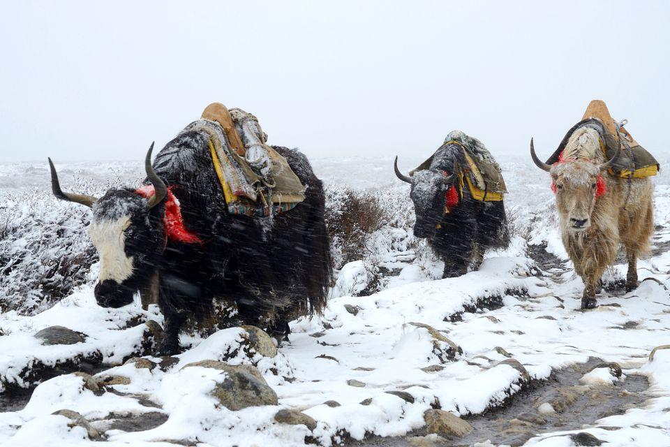 La faune et la flore, Népal, nature, asie, mammifère, faune, yak