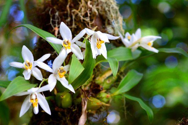 Flora , Nepal