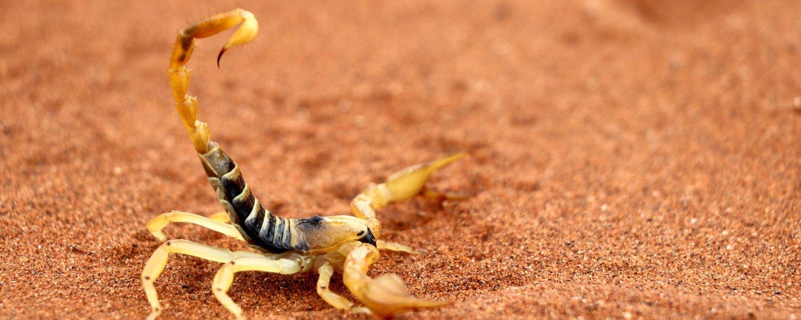 La faune et la flore, afrique, niger, désert, scorpion, sable, chaleur, arthropode, animal, faune