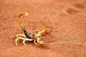 La faune du désert , Le scorpion jaune du Sahara, Niger , Niger