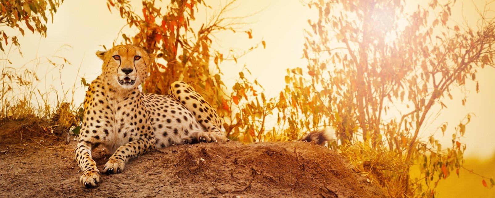 La faune et la flore, léopard, panthère, fauve, félin, mammifère, faune, animal, désert, parc, réserve, w, afrique, niger