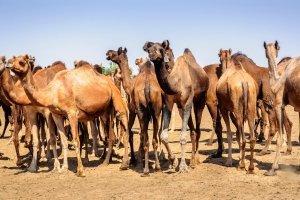 La caravane de l'Azalai , La caravane de l'Azalaï, Niger , Niger