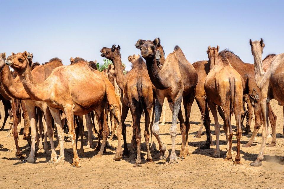 Les arts et la culture, afrique, niger, caravane, animal, faune, chameau, culture, azalai