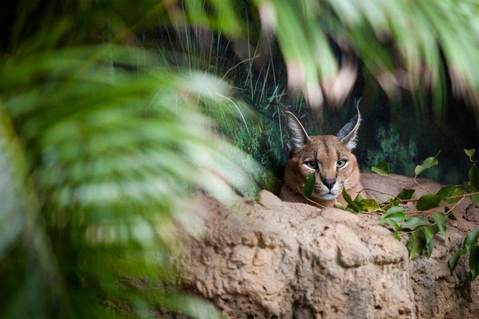 La faune et la flore, nigéria, afrique, ouest, faune, animal, parc, yankari, mammifère, caracal, lynx, fauve