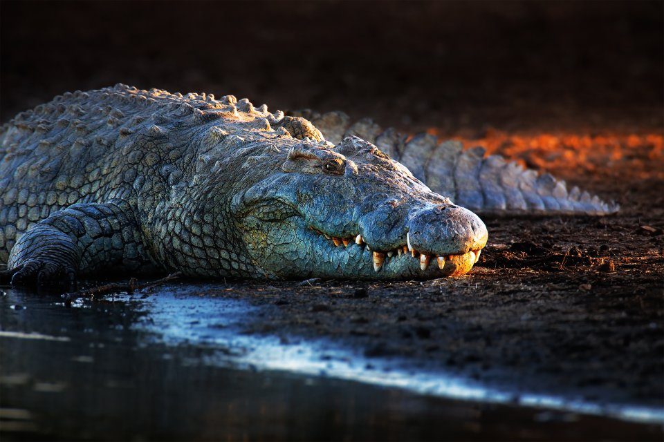 La faune et la flore, nigéria, afrique, ouest, parc, yankari, faune, animal, reptile, crocodile