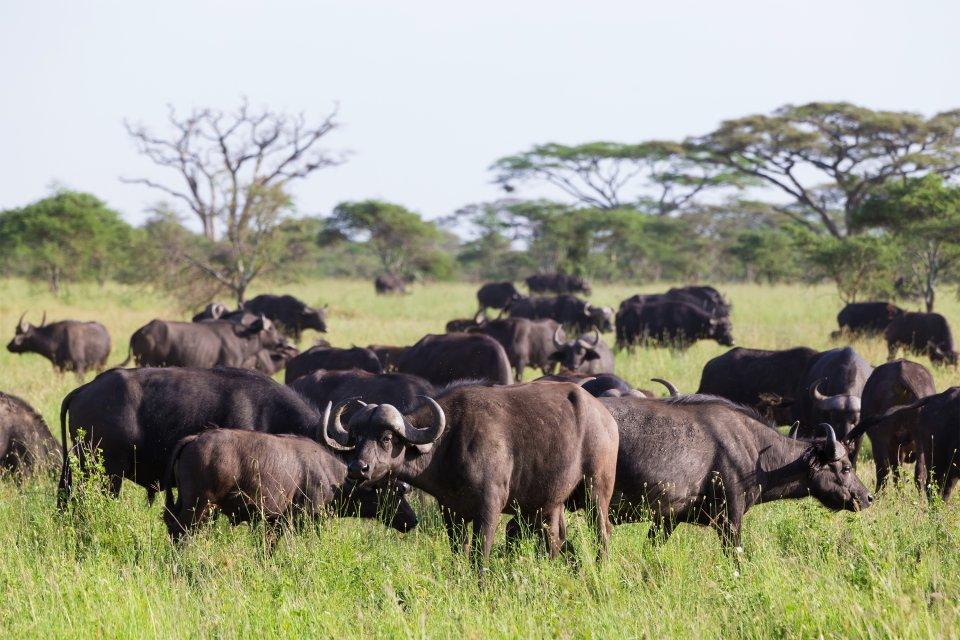 La faune et la flore, nigéria, afrique, ouest, faune, animal, parc, yankari, mammifère, buffle