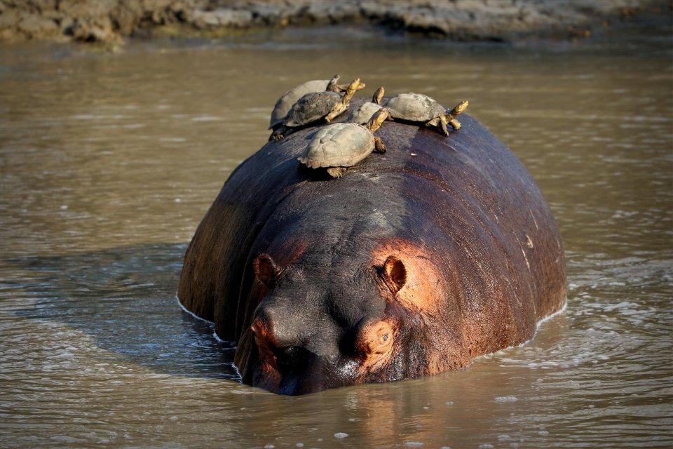 La faune et la flore, nigéria, afrique, ouest, faune, animal, parc, yankari, hippopotame, mammifère