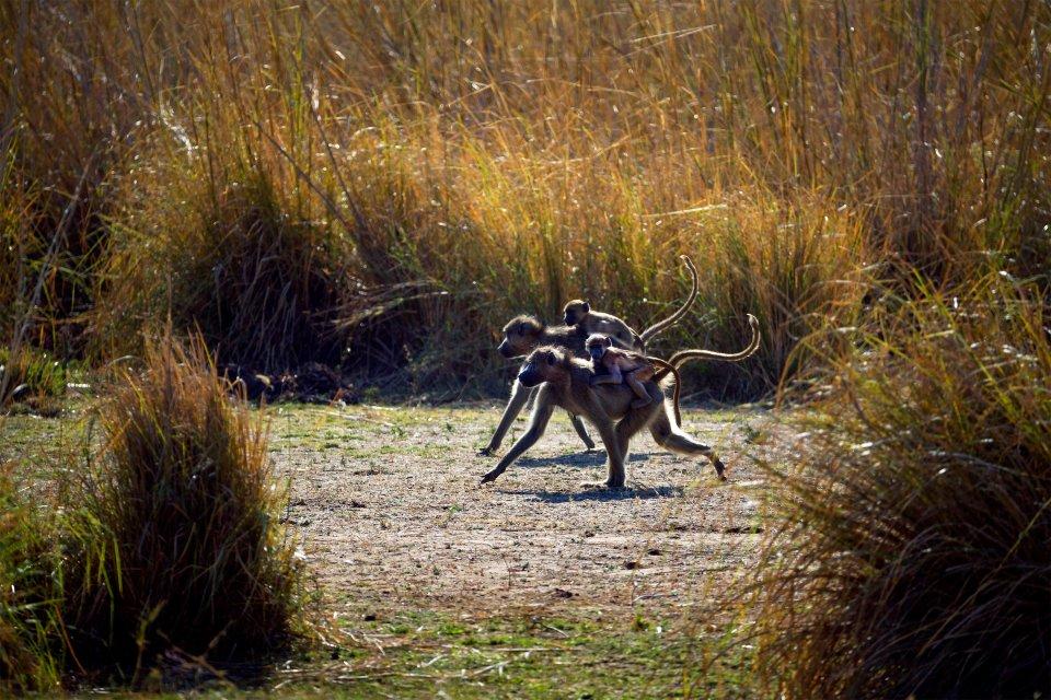 La faune et la flore, nigéria, afrique, ouest, faune, animal, parc, yankari, mammifère, babouin, primate, singe