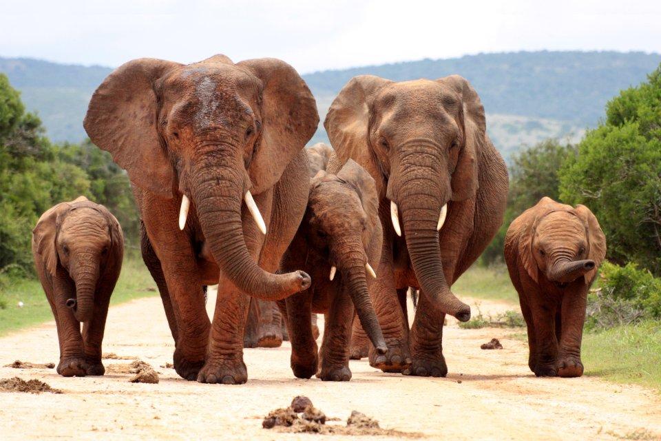 La faune et la flore, éléphant, mammifère, faune, animal, Gashaka Gumpti, parc
