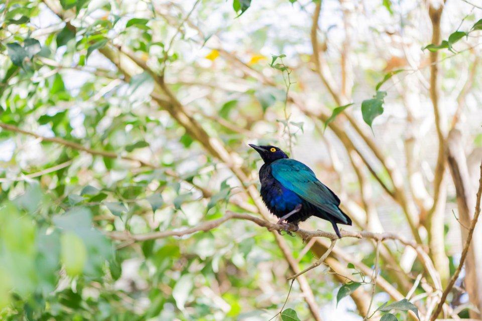 La faune et la flore, lamprotornis purpureus, Gashaka Gumpti, parc, animal, faune, oiseau, afrique, nigéria, choucador