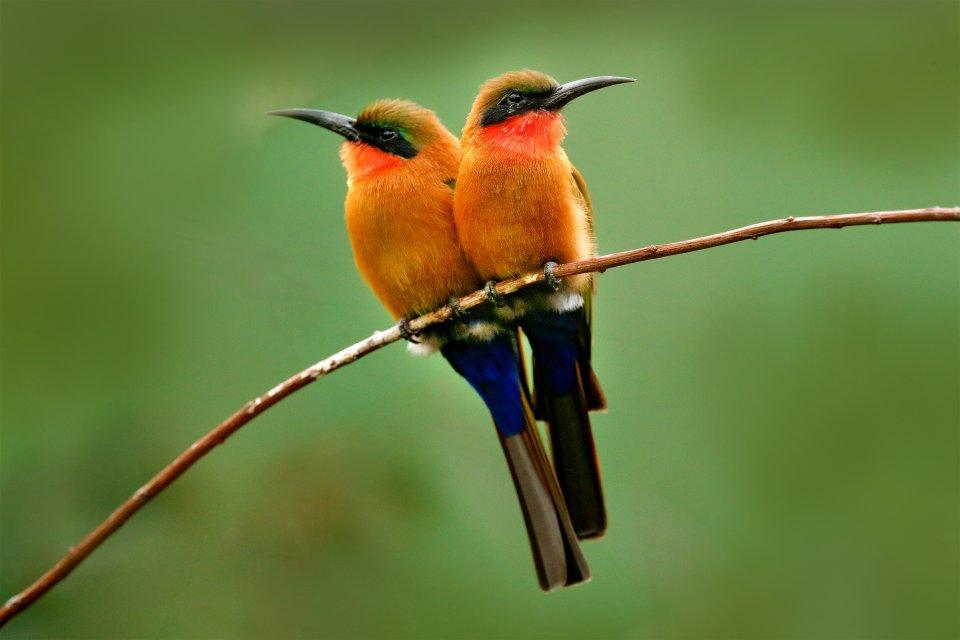 La faune et la flore, Gashaka Gumpti, parc, animal, faune, oiseau, afrique, nigéria, Guêpier à gorge rouge, Merops bulocki