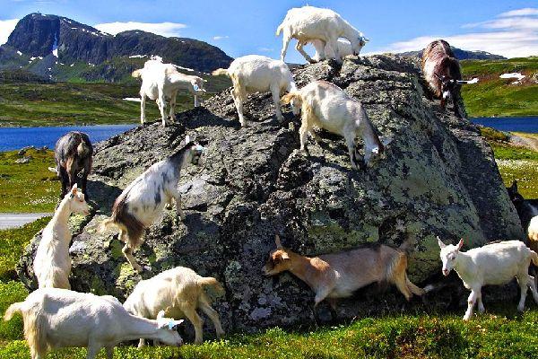 Las ganaderías , Cría en Noruega , Noruega