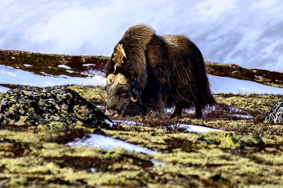 Der Moschusochse , Moschusochsen , Norwegen