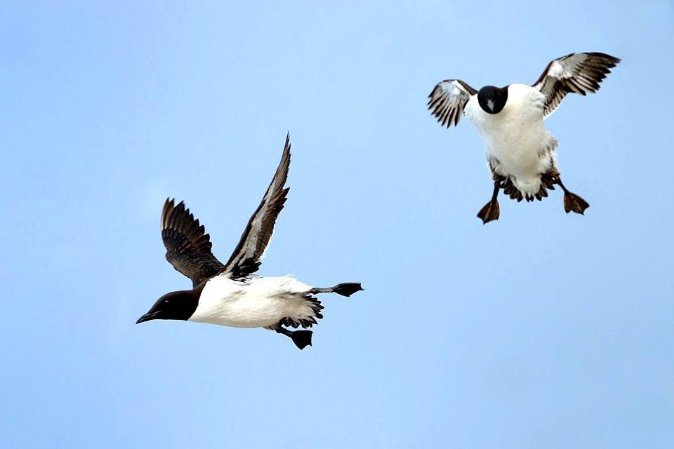 Die Vögel , Norwegen
