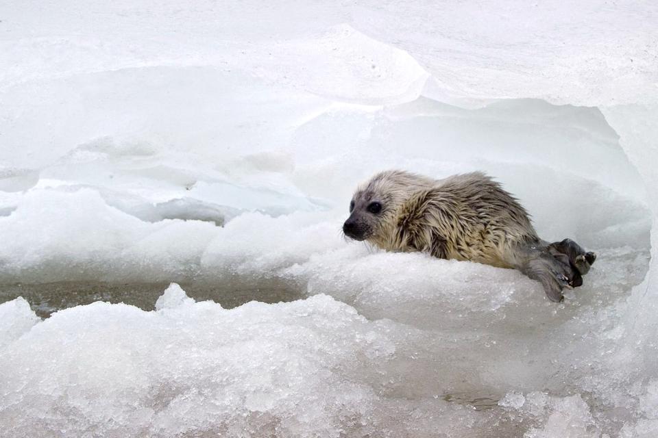 La fauna submarina , Una foca en un zoo noruego , Noruega