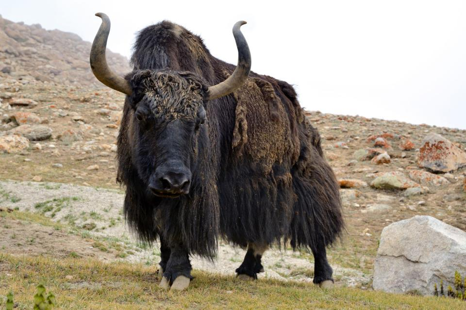 The big mammals of the mountain , Afghanistan