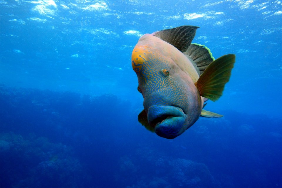 Les côtes, Caledonie, Grande-Terre, Nouvelle-Caledonie, océanie, france, poisson, faune, sous-marine, napoléon, lagon