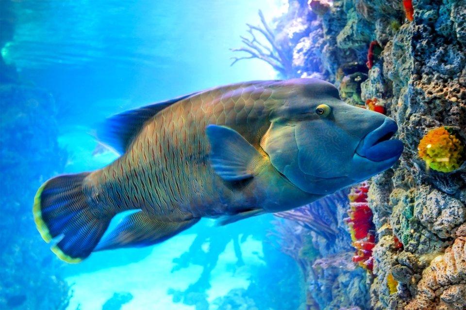 La faune et la flore, Caledonie, Grande-Terre, Nouvelle-Caledonie, océanie, france, poisson, faune, sous-marine, mélanésie, poisson, labre, napoléon