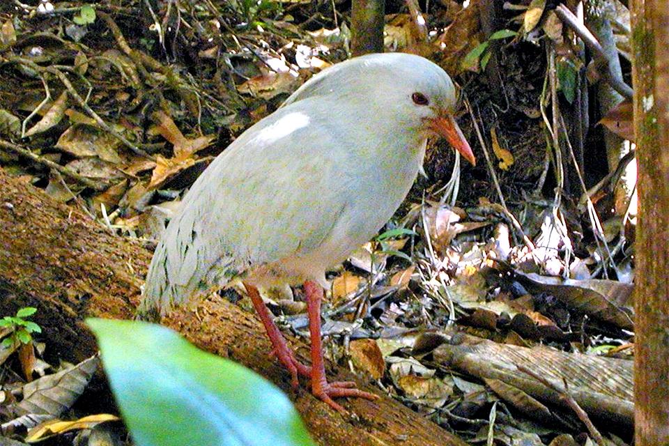 Grande Terre , La fauna terrestre , Nueva Caledonia