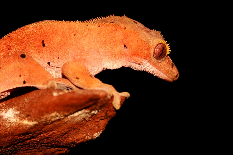 Le gecko à crête (Rhacodactylus ciliatus), Grande Terre - La faune terrestre, La faune et la flore, Nouvelle-Calédonie