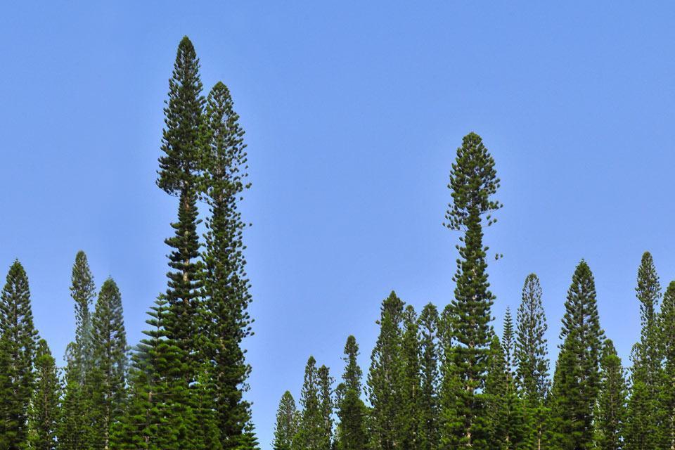 Grande Terre , die Flora , Neukaledonien