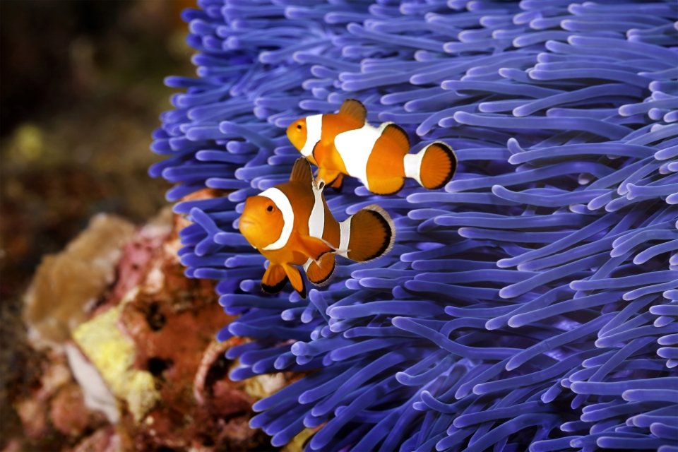 La faune et la flore, Caledonie, Grande-Terre, Nouvelle-Caledonie, océanie, france, poisson, faune, sous-marine, mélanésie, poisson, clown, anémone