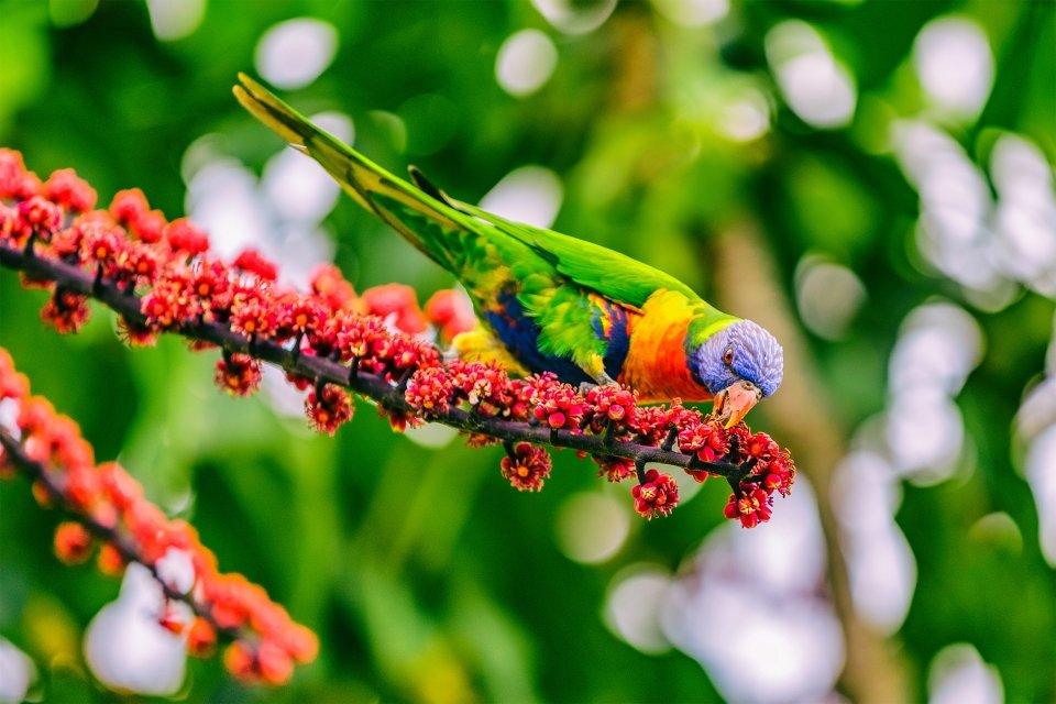 La faune et la flore, Caledonie, Grande-Terre, Nouvelle-Caledonie, océanie, france, poisson, faune, mélanésie, oiseau, loriquet