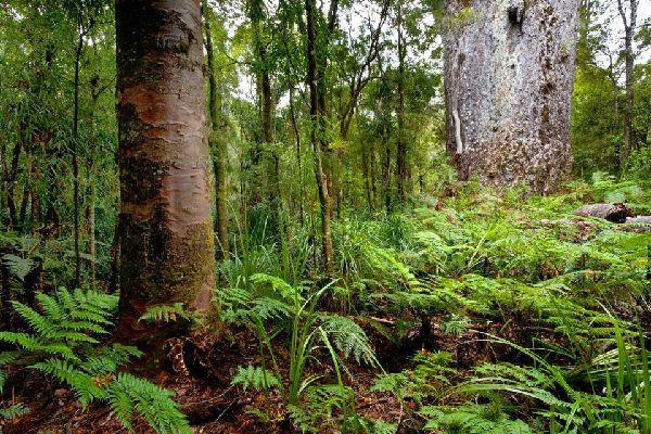 The kauri , New Zealand